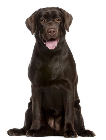 Labrador Retriever, 7 months old, sitting in front of white background