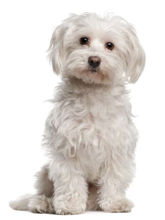 maltese dog: Maltese, 8 years old, sitting in front of white background