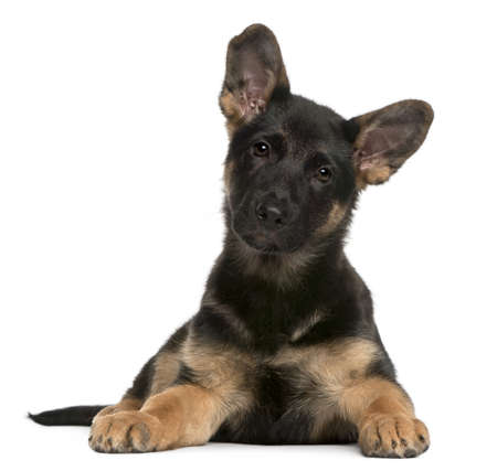 lying in front: German Shepherd Dog puppy, 3 months old, lying in front of white background Stock Photo
