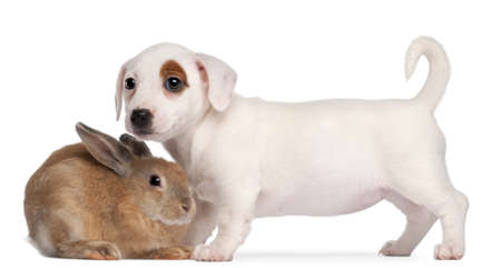 jack rabbit: Jack Russell Terrier puppy, 2 months old, and a rabbit, in front of white background