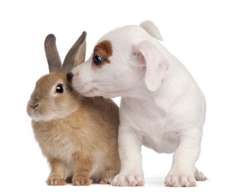 Jack Russell Terrier puppy, 2 mois et un lapin, en face de fond blanc Banque d'images