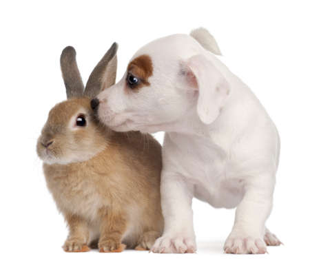 Jack Russell Terrier puppy, 2 months old, and a rabbit, in front of white background Stock Photo - 8650332