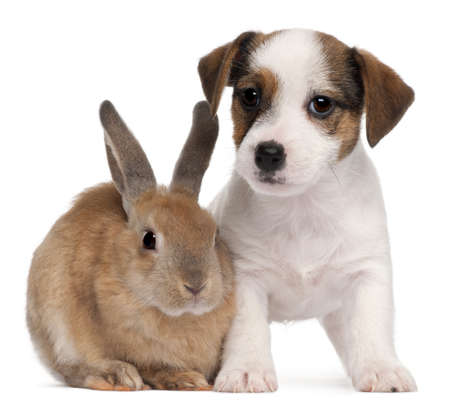 jack terrier: Jack Russell Terrier puppy, 2 months old, and a rabbit, in front of white background