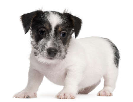 Jack Russell Terrier puppy, 2 months old, in front of white background photo