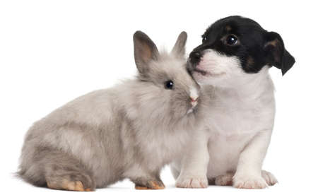 Jack Russell Terrier puppy, 2 months old, and a rabbit, in front of white background photo