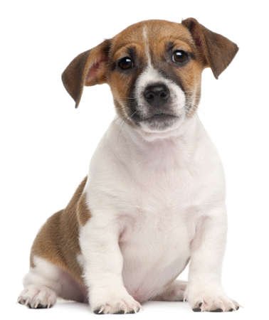 jack russell terrier puppy: Jack Russell Terrier puppy, 2 months old, sitting in front of white background