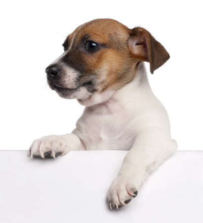 paw russell: Jack Russell Terrier puppy, 2 months old, getting out of a box in front of white background