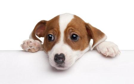 perro triste: Jack Russell Terrier puppy, 2 meses de edad, para salir de un cuadro de fondo blanco