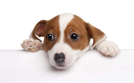 Jack Russell Terrier puppy, 2 months old, getting out of a box in front of white background photo
