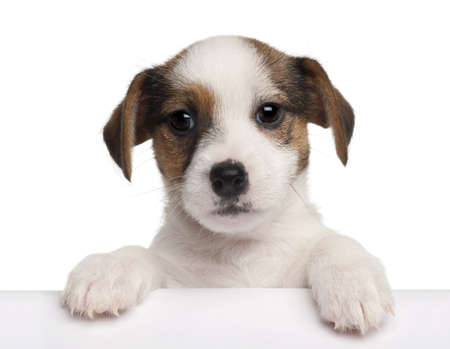 jack in a box: Jack Russell Terrier puppy, 2 months old, getting out of a box in front of white background