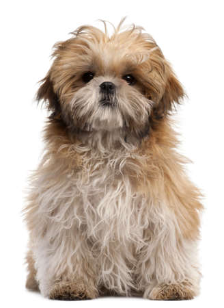 attentive: Shih-tzu puppy, 6 months old, sitting in front of white background