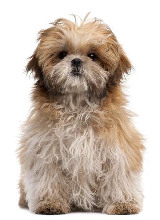 shihtzu: Shih-tzu puppy, 6 months old, sitting in front of white background