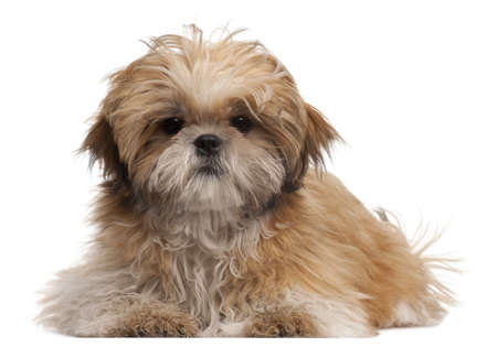 Shih-tzu puppy, 6 months old, lying in front of white background Stock Photo - 8651645