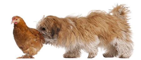 shihtzu: Shih-tzu puppy, 6 months old, and a hen in front of white background