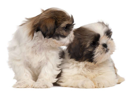Two Shih-tzus in front of white background Stock Photo - 8651708