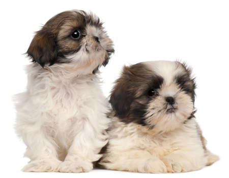 Two Shih-tzus in front of white background Stock Photo - 8649912