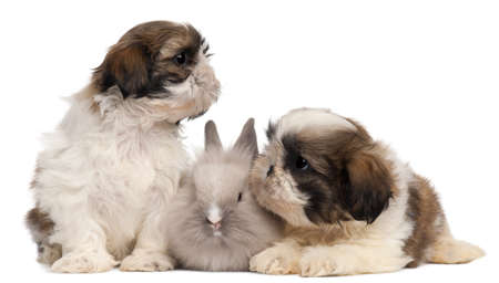 Two Shih-tzus playing with rabbit in front of white background photo