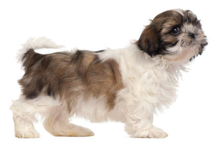 Brown and white Shih-tzu standing in front of white background photo