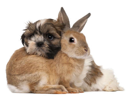 looking over: Shih-Tzu and rabbit in front of white background