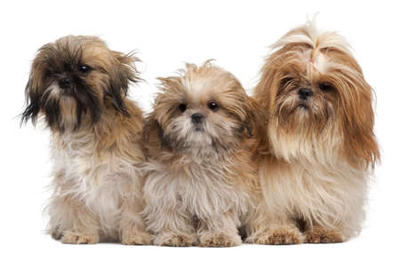 Three Shih-tzus in front of white background Stock Photo - 8651291
