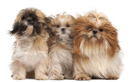 shih: Three Shih-tzus with windblown hair in front of white background Stock Photo