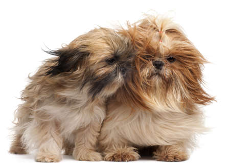 Two Shih-tzus with windblown hair in front of white background Stock Photo - 8651303