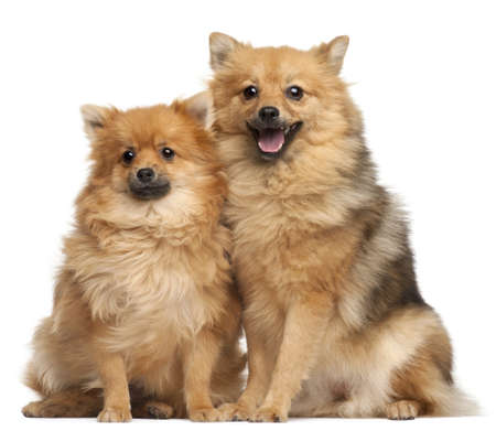 Two Spitz dogs, 1 year old, sitting in front of white background Stock Photo - 8651814
