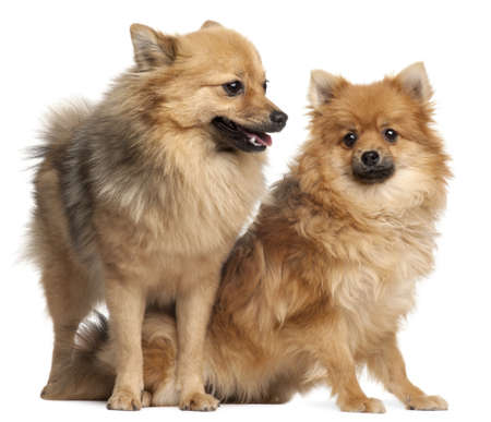 Two Spitz dogs, 1 year old, in front of white background Stock Photo - 8651617