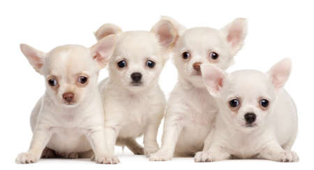 Four Chihuahua puppies, 2 months old, in front of white background photo