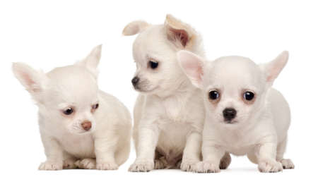 Three Chihuahua puppies, 2 months old, in front of white background photo