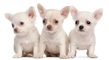 chihuahua 3 months old: Three Chihuahua puppies, 2 months old, in front of white background Stock Photo