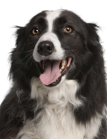 Close-up of Border Collie panting, 5 years old, in front of white background photo
