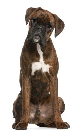 perro boxer: Boxeador sentado delante de fondo blanco