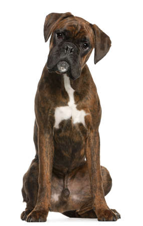 boxer dog: Boxer sitting in front of white background