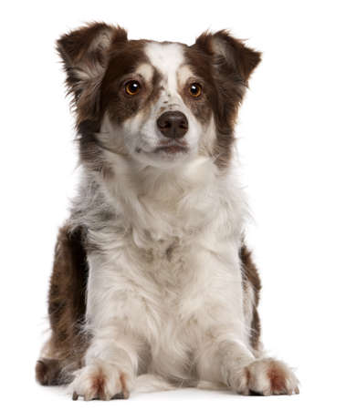 border collie puppy: Border Collie, 8 months old, sitting in front of white background