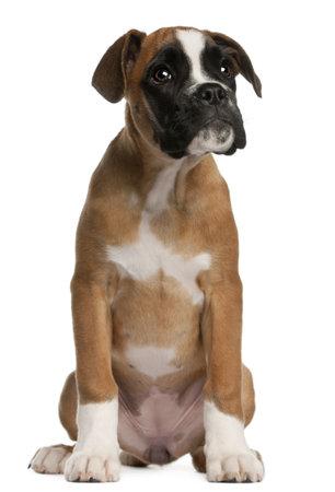 Cachorro Boxer, 3 meses de edad, sentado frente a fondo blanco Foto de archivo