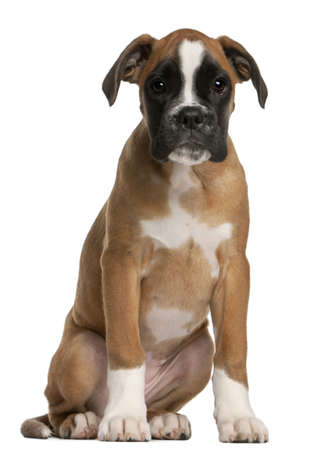 puppy dog: Boxer puppy, 3 months old, sitting in front of white background Stock Photo