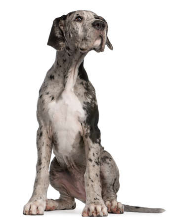 Great Dane puppy, 3 months old, sitting in front of white background photo