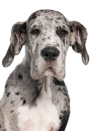 Close-up of Great Dane puppy, 3 months old, in front of white background photo