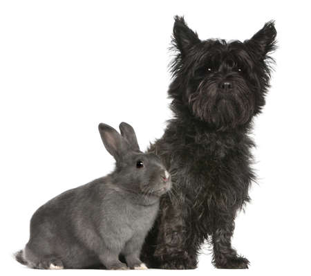 1 year old: Cairn Terrier, 4 years old, and a rabbit, 1 year old, sitting in front of white background Stock Photo