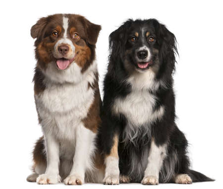australian animals: Australian Shepherd dogs, 3 years old and 18 months old, sitting in front of white background Stock Photo