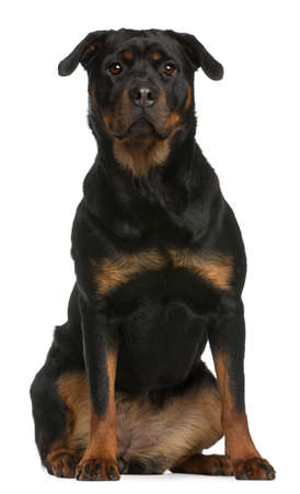rottweiler: Rottweiler sitting in front of white background Stock Photo