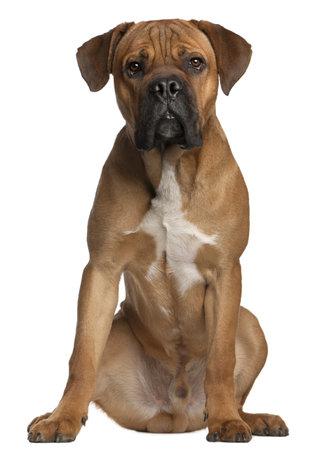 cane corso: Cane Corso, 9 mesi di et�, seduto davanti a sfondo bianco