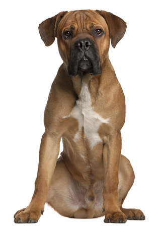 Cane Corso, 9 months old, sitting in front of white background photo