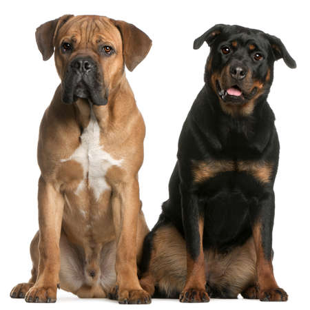 Cane Corso, 9 months old, and a Rottweiler sitting in front of white background Stock Photo - 8650365