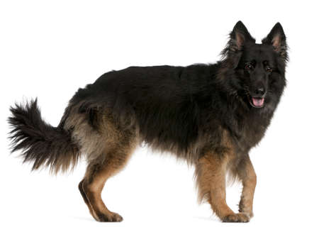 furry tail: German Shepherd standing in front of white background