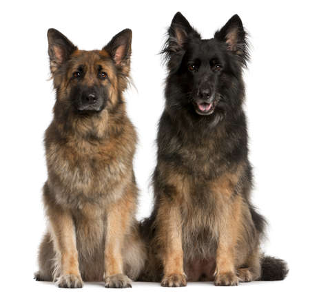 purebred dog: Two German Shepherds sitting in front of white background Stock Photo