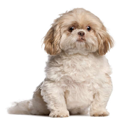 shih tzu: Shih Tzu sitting in front of white background Stock Photo