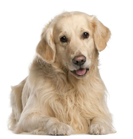 animal tongue: Golden Retriever, 7 years old, sitting in front of white background Stock Photo