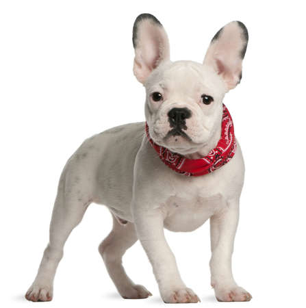 french bulldog puppy: French bulldog puppy, 4 months old, standing in front of white background